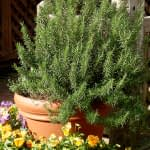 fresh rosemary shrub